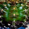 Cactus by Sherry Sullivan