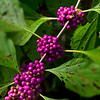 Wild berries at Walter Jones Historic Park