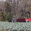 East Palatka Cabbage Farm