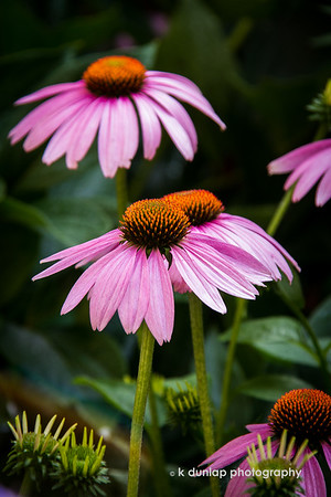 """07.06.15 = Fireworks<br /> <br /> My coneflowers (Echinacea)  are going crazy! They just keep exploding like little fireworks in the garden.  I love how they stand so tall and proud of themselves.  It's a sure sign that we are getting deeper into summer.  <br /> <br /> """"Baby, you're a firework<br /> Come on, let your colors burst<br /> Make 'em go, """"Aah, aah, aah""""<br /> You're gonna leave 'em all in awe, awe, awe""""  ~Katie Perry, Firework<br /> <br /> <br /> (Sorry if you have that song stuck in your head now!)"""