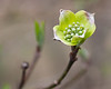 Spring Dogwood bloom