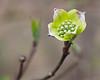 Spring Dogwood bloom