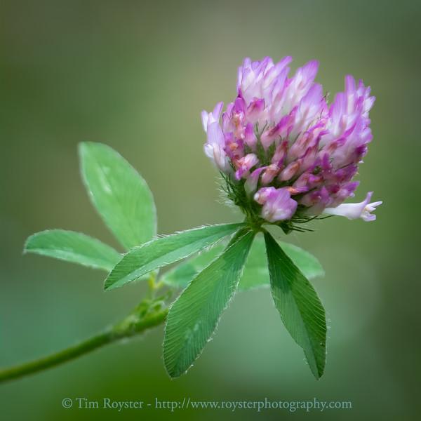 Trifolium pratense (a.k.a. Red clover)