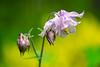 Columbine bloom and buds