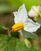 Horse Nettle and Toxomerus Hover fly