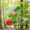 Strawberry bush bloom or Bustin' Heart