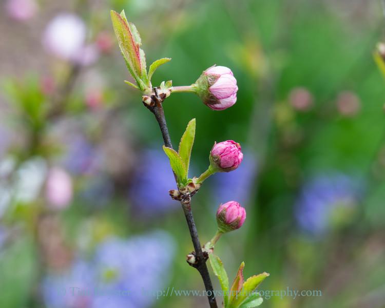 Dwarf Flowering Almond buds