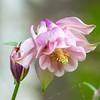 Columbine bloom with hidden spider