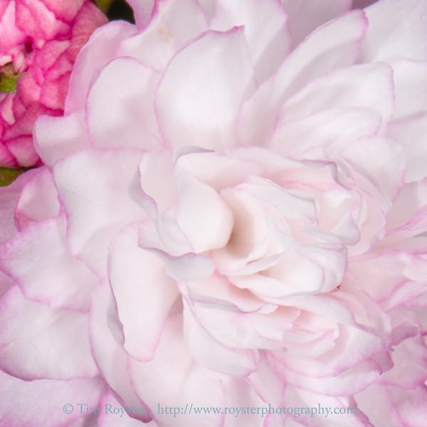 Dwarf Flowering Almond bloom