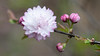 Dwarf Flowering Almond bloom