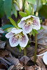 Helleborus Lenten Rose in our backyard Virginia woodland cat cemetery.