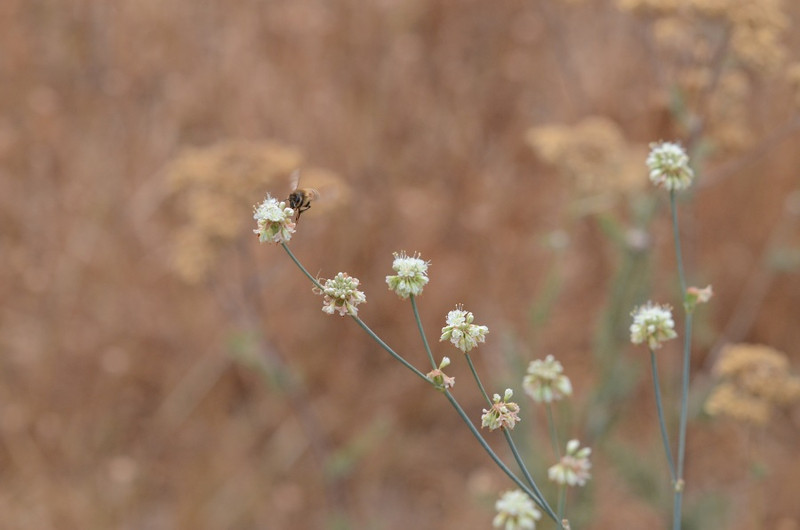 There were a number of bees visiting several buckwheat plants.  They didn't stay on any flower for long, so getting a good manual focus picture wasn't easy.  When I looked at this image on my computer, I noted something below and to the right of the bee.