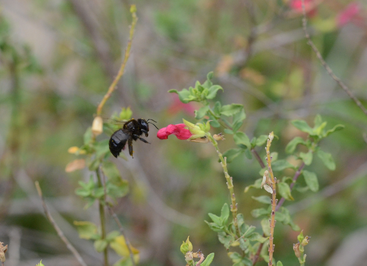 I moved to the front yard to take a few more pictures.  Here is a native bee landing on a salvia flower.