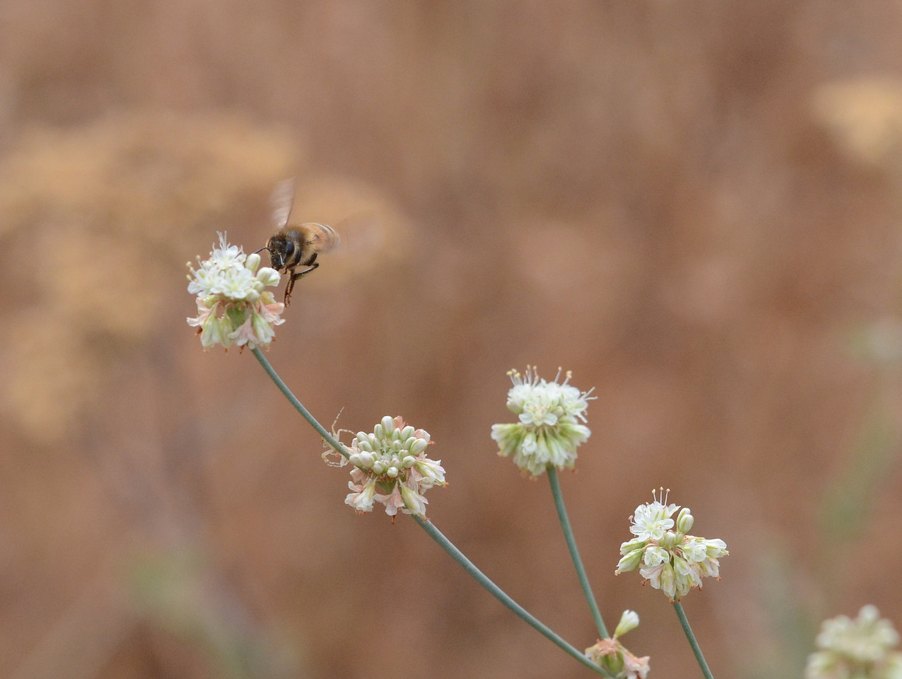 Since the camera records images at almost 5000 pixels by 4000 pixels, I can zoom in without losing detail.  Now I can begin to see some pale legs an inch or two below the bee,