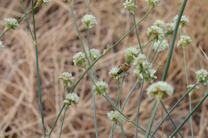 I managed to get a decent shot of another honey bee on a different buckwheat plant.  When I viewed this image, I noticed a green shape above the bee that didn't look like part of the plant.