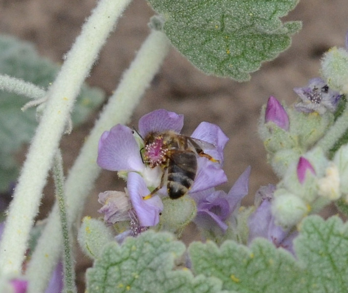 The bee seems to be wrapping itself around the flower parts.