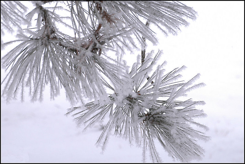 Hoarfrost on pine tree, in the back yard.