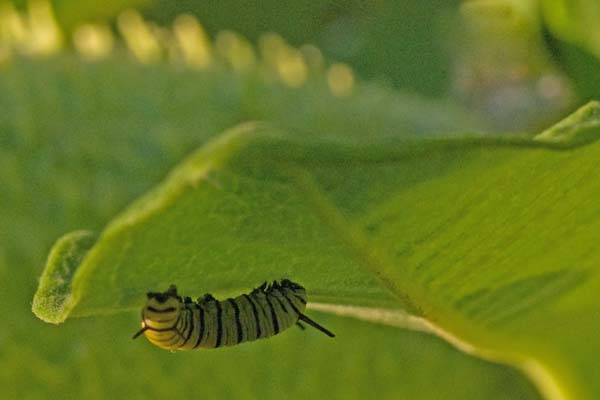 8/2010:  caterpillar on milkweed leaf, at home.  A tight crop, Patch Tool, Highlight Shadow adjustment, and smart sharpening of caterpillar only were used.
