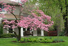 pink flowering dogwood brunch, dogwood, Cornus florida