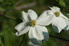 White flowering dogwood brunch, dogwood, Cornus florida