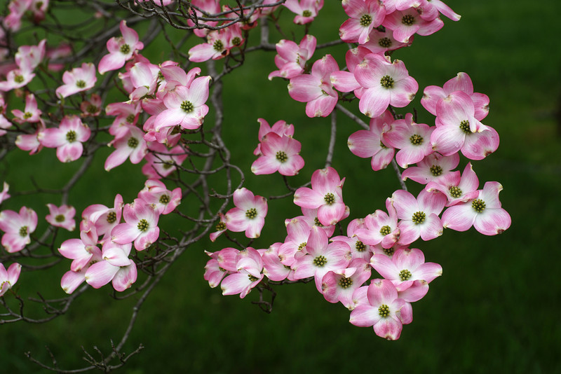 pink flowering dogwood brunch, dogwood, Cornus florida