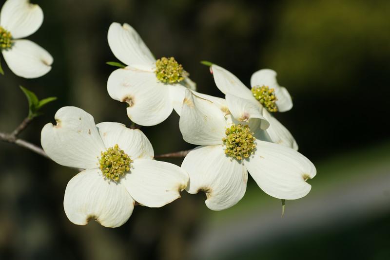 White flowering dogwood brunch, dogwood, Cornus florida