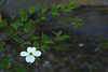 wild white flowering dogwood brunch with single blossom