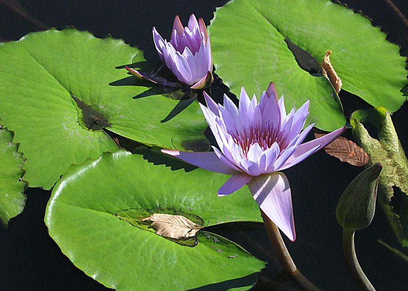 Purple water lillies in the reflecting pond, Enid A. Haupt Conservatory, New York Botanical Garden