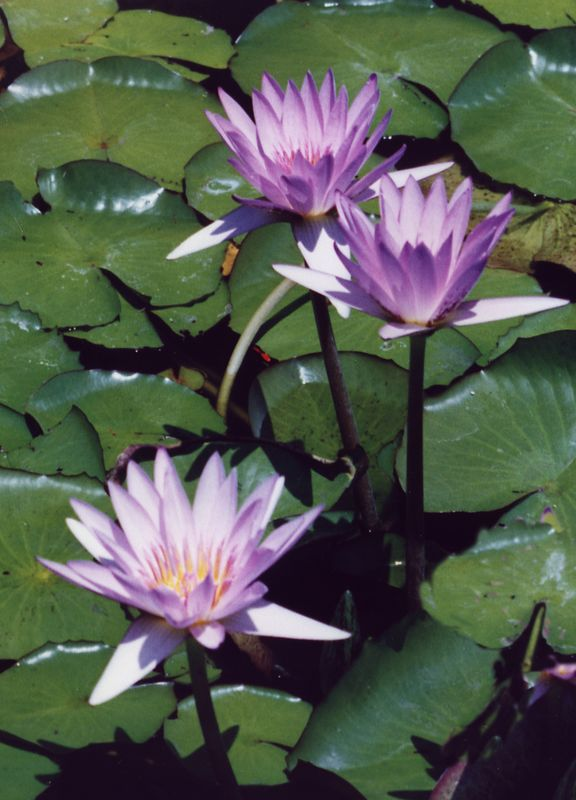 Purple water lillies - NY Botanical Gardens