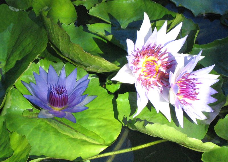 Blue and purple waterlillies in the reflecting pool of the Enid A. Haupt Conservatory, New York Botanical Garden