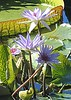 The giant waterlilly Victoria amazonica at the Enid A. Haupt Conservatory of the New York Botanical Garden