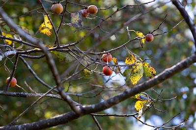 Wild Persimmon Tree