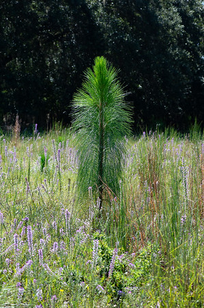 Long leaf Pine surrounded by Blazing-star flowers