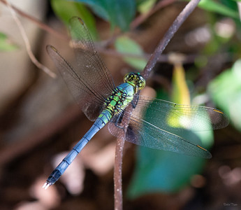 There are well over 100 speices of Dragonflies in the Southeast USA.