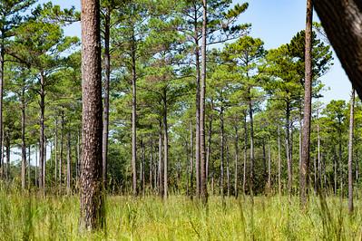 Loblolly Pine Trees in the hunt fields.