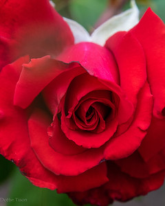 Red, Red, Rose