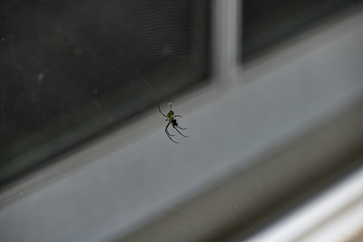 This Orchard Spider (Leucauge venusta) has her web near our back door.