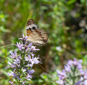Buck-eye butterfly lands on Blazing-star