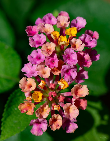 Lantana flowering in the butterfly garden behind the Nature Center.