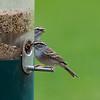Chipping Sparrow aka LBB