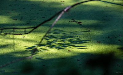 Shadows on a pond covered with duckweed.