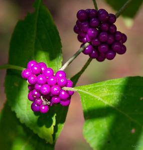 Beauty-berry  (Callicarpa americana)