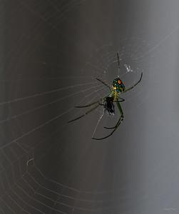 Leucauge venusta, Orchard Spider and prey.