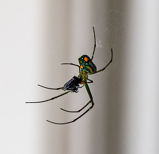Orchard Spider and prey
