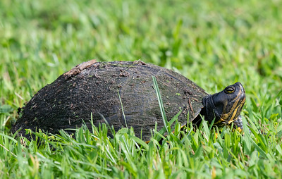 This looks like a yellow-bellied slider to me....???