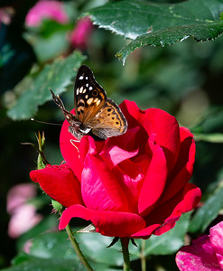 Butterly on Rose