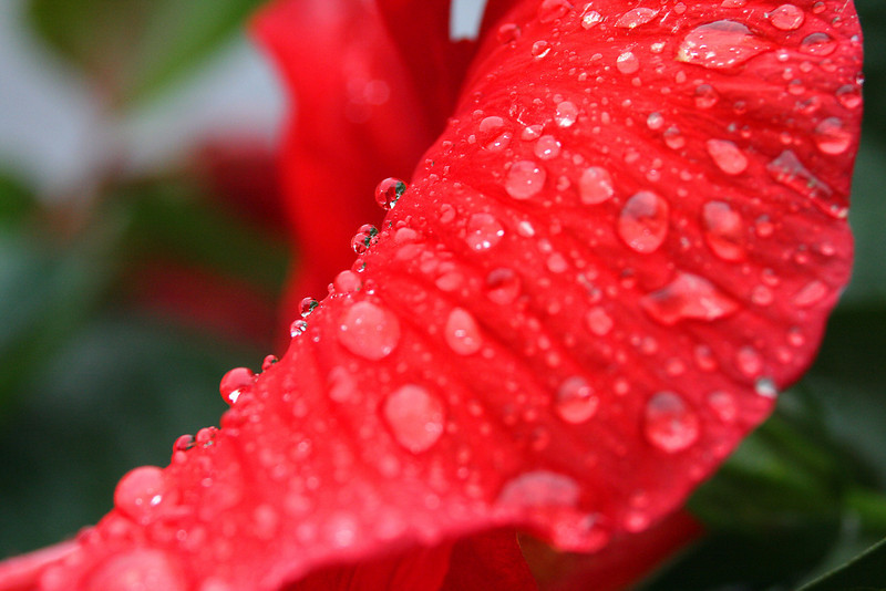 Hibiscus and Droplets