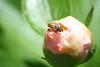 Bee on a Bud