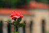 Rose at the Monastary
