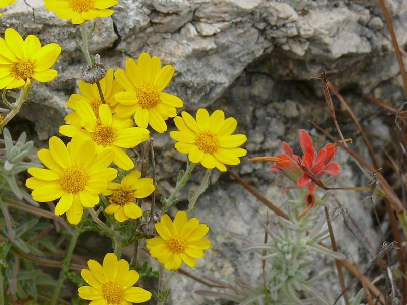 wooly_sunflowers_indian_paintbrush_P1100641